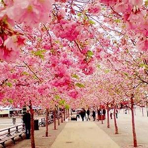 عکس - ژاپن غرق در عطر شکوفه های گیلاس