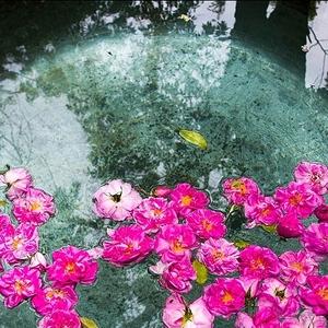 عکس - آیین  1000 ساله گلاب گیری