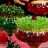عکس - سبزه عید در خاک ژله ای