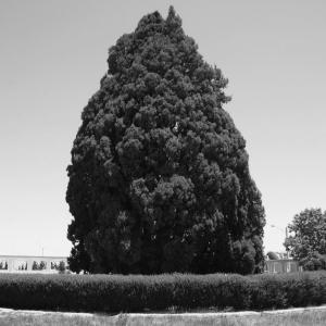 عکس - سرو ابرکوه , پیرترین موجود زنده دنیا